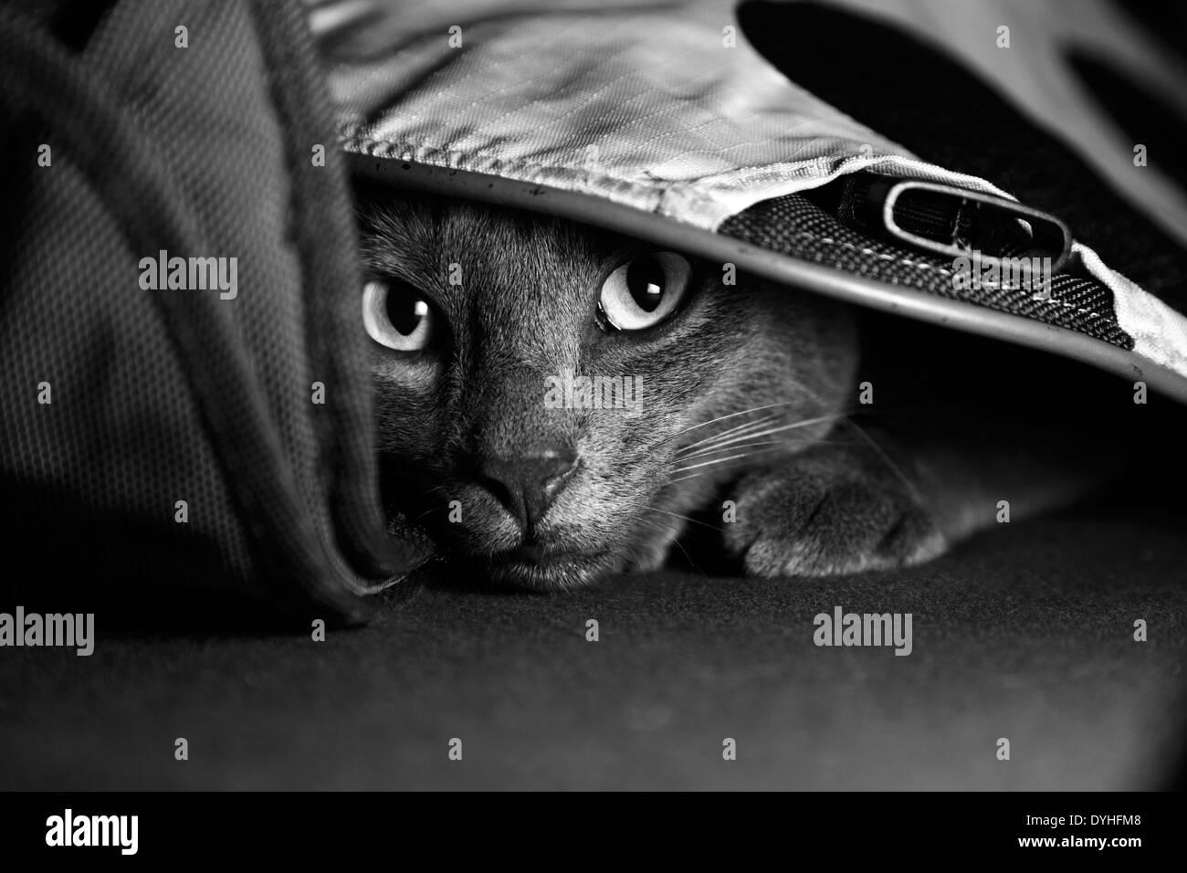 A gray cat hidden under a bag - Stock Image