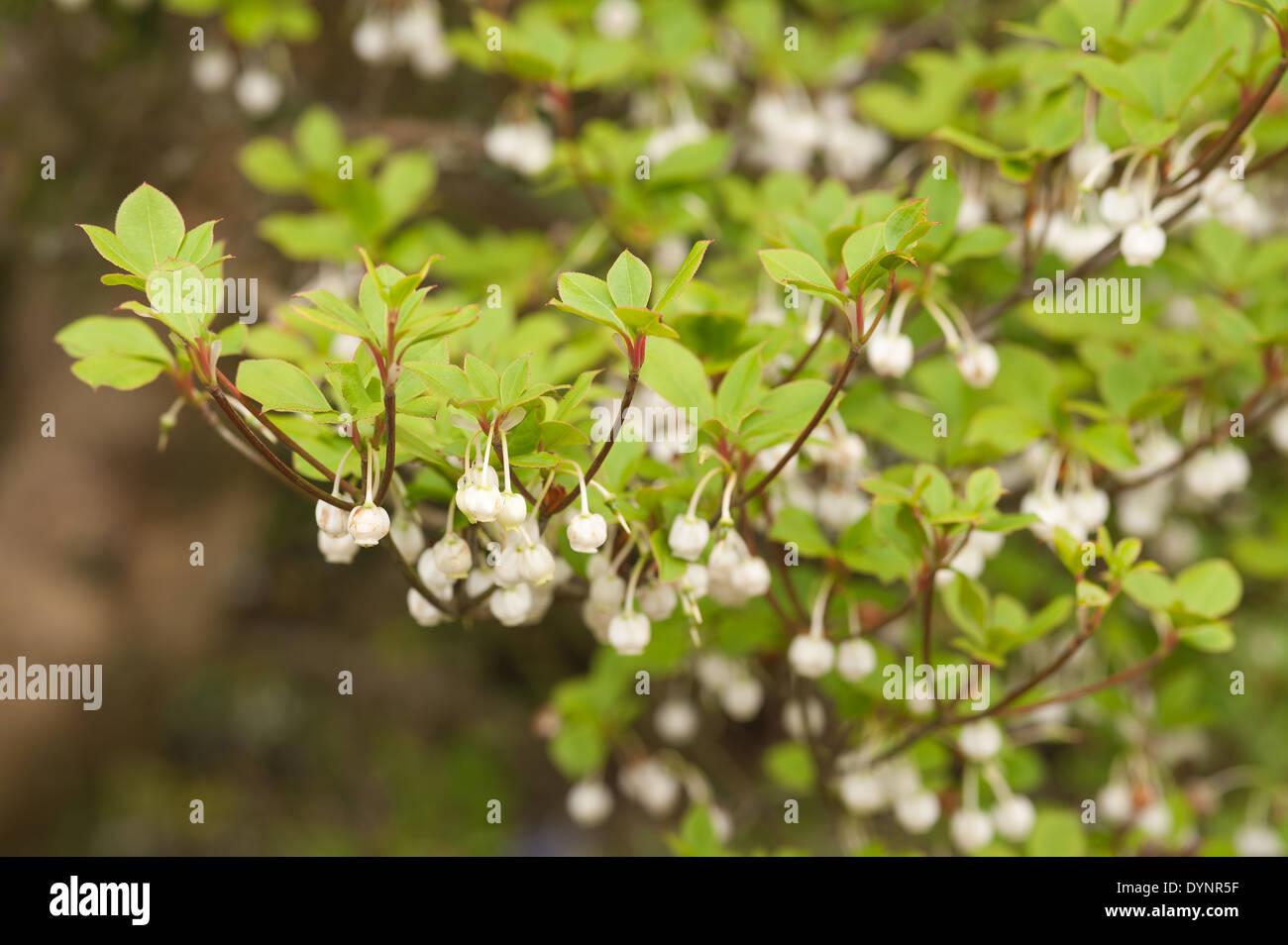 Alternate Leaves Of White Enkianthus Shrub Making A Spectacular