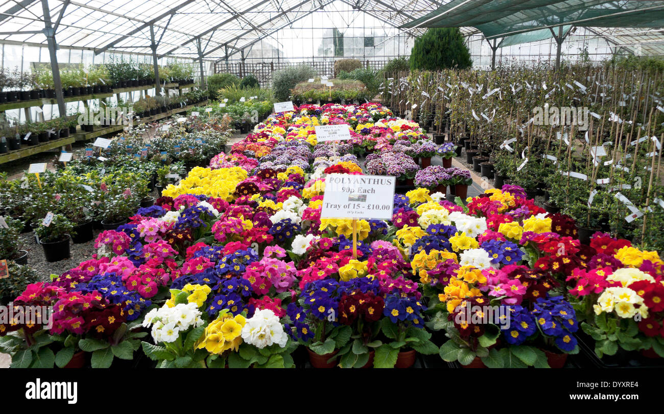 Spring Flower Display Of Various Colourful Polyanthus For Sale In A