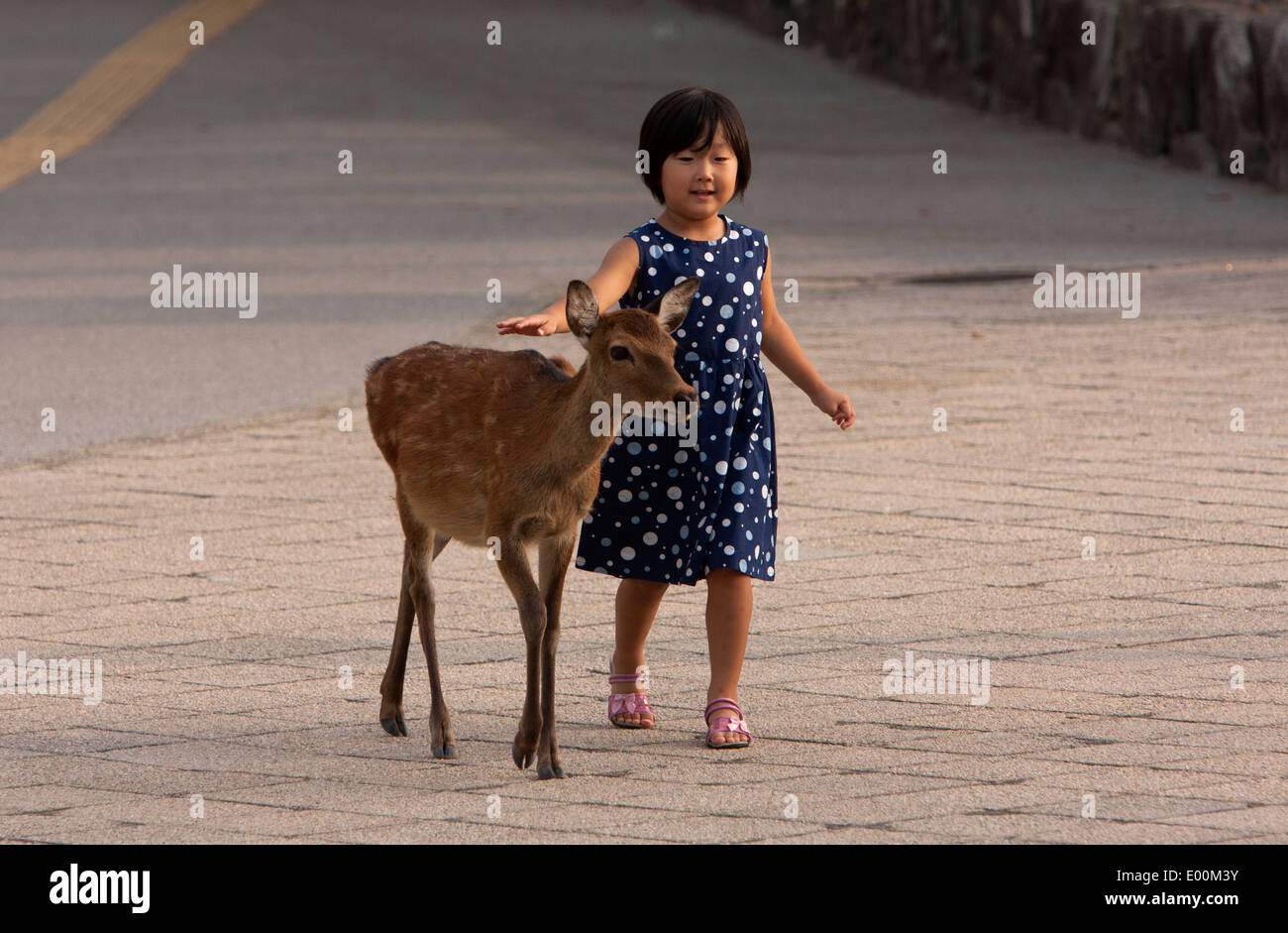 Sitka deers roam free in the island of Itsukushima in the western part of the Inland Sea of Japan, northwest of - Stock Image