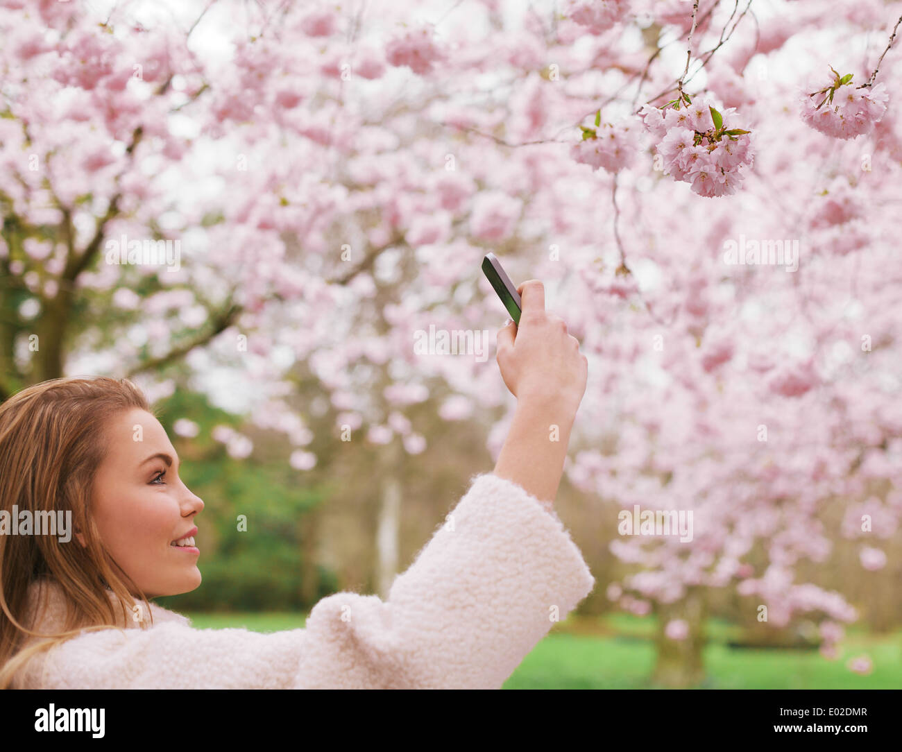 Attractive young woman taking pictures of pink blossom flowers at a spring blossom park. Beautiful Caucasian female - Stock Image