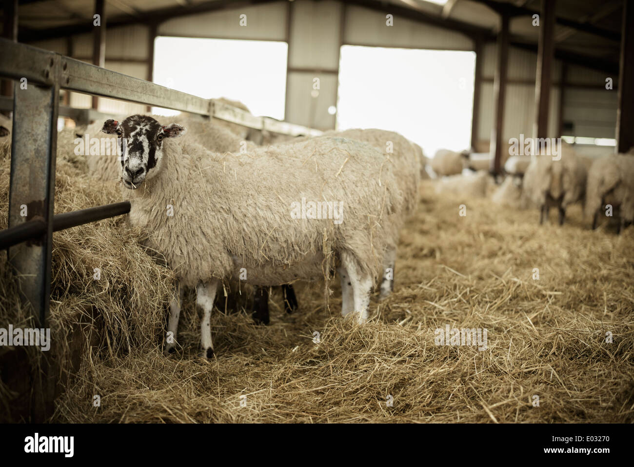Sheep in a barn during lambing time. - Stock Image