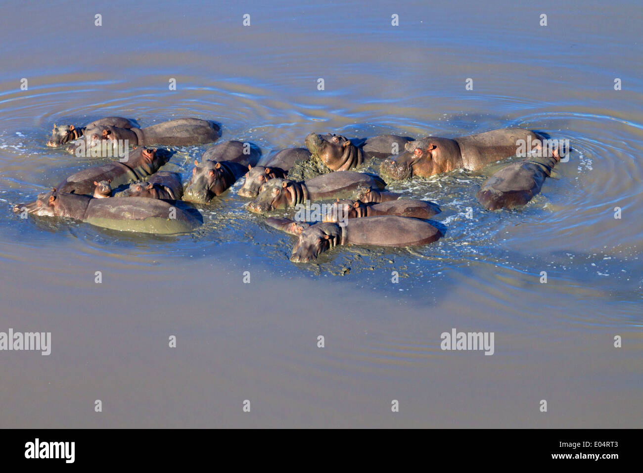 Aerial view of hippo in water.Hippopotamus. (Hippopotamus amphibius) South Africa - Stock Image