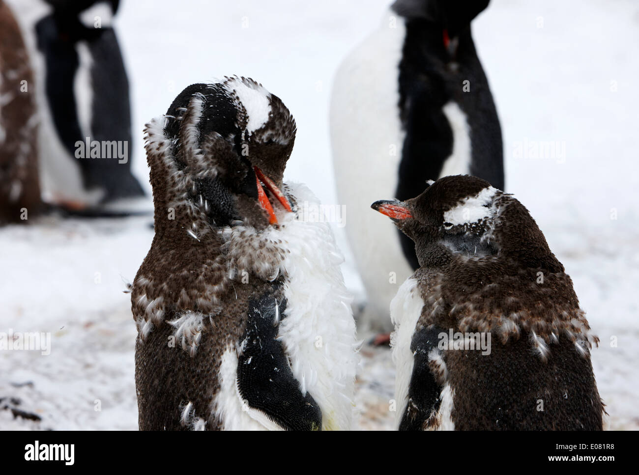 two juvenile gentoo penguins moulting on hannah point Antarctica - Stock Image