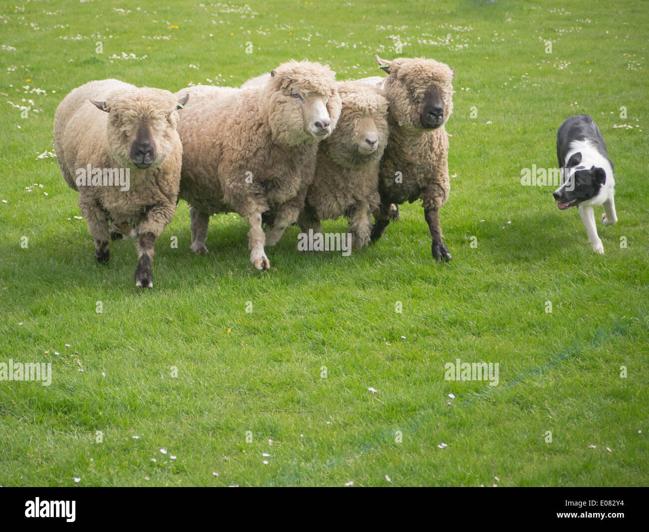 A Border Collie sheep dog rounds up sheep in a fieldStock Photo