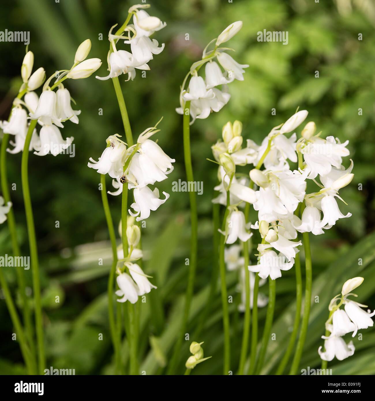 White bluebell hispanica flowers in spring bloom in an oxfordshire white bluebell hispanica flowers in spring bloom in an oxfordshire garden shipton under wychwood england united kingdom uk mightylinksfo Gallery