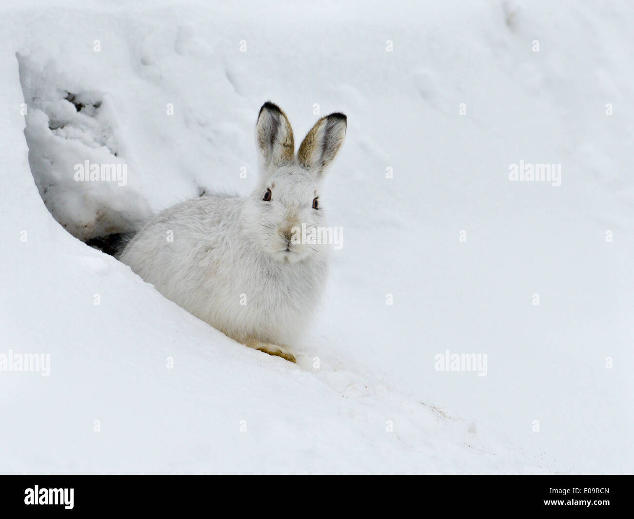 mountain-hare-lepus-timidus-cairngorms-scotland-taking-shelter-from-E09RCN.jpg