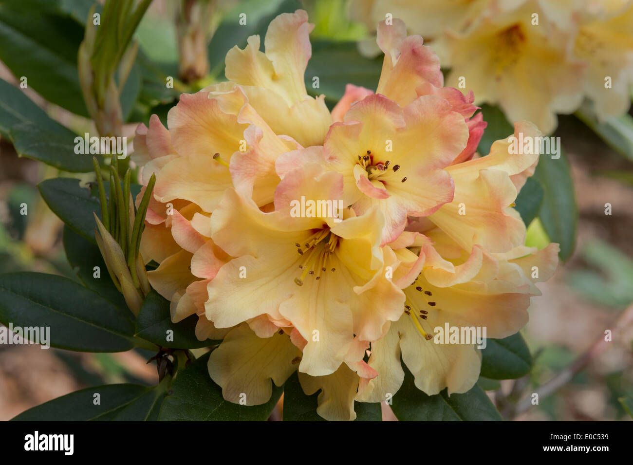 Rhododendron 'Nancy Evans' AGM flowers in Himalayan Garden and Sculpture Park North Yorkshire England UK - Stock Image