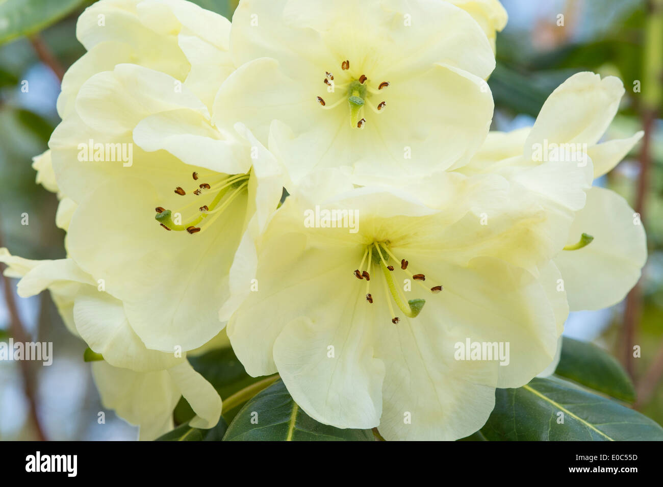 Rhododendron 'Rosa Stevenson' flowers close-up Himalayan Garden and Sculpture Park North Yorkshire England - Stock Image
