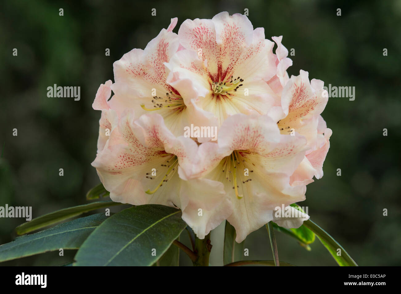 Rhododendron 'Wind River' flowers Himalayan Garden and Sculpture Park North Yorkshire England UK Europe - Stock Image