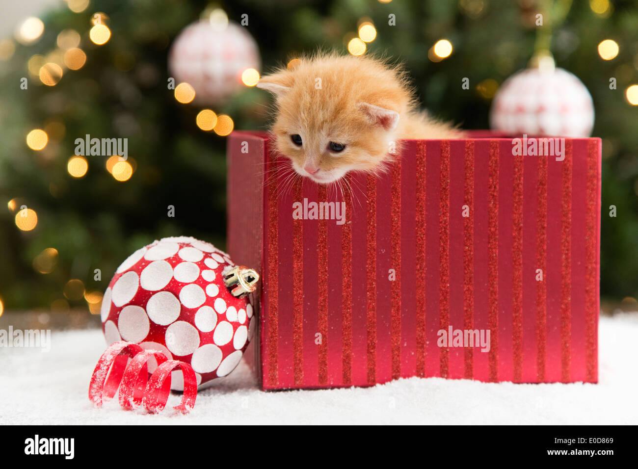 Kitten in red box at Christmas Stock Photo: 69133297 - Alamy