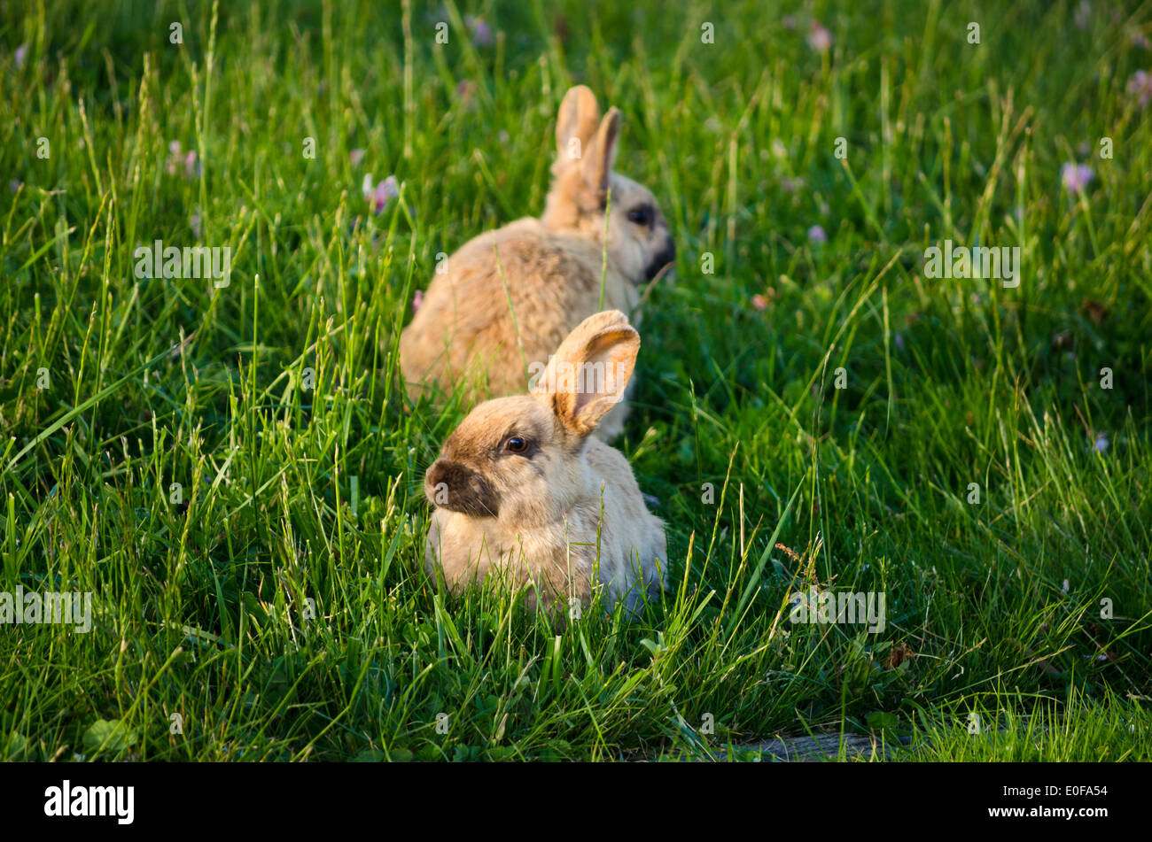 Two cute bunnies or rabbits in the grass. Stock Photo