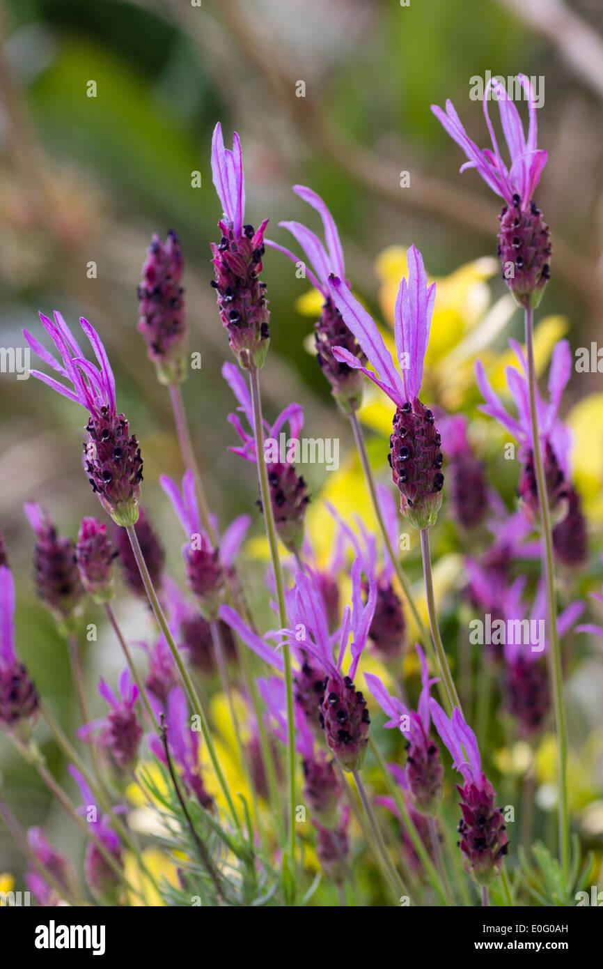 Flowers of French lavender, Lavandula pedunculata ssp pedunculata 'Papillion' Stock Photo