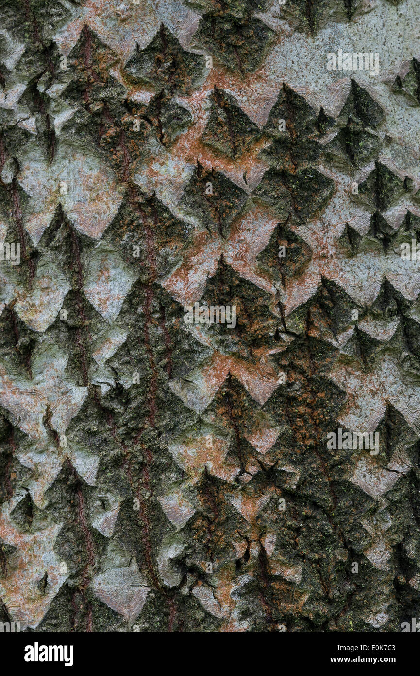 Pigart Polar (Populus x canescens 'Hacrophylla') close-up of bark Yorkshire Arboretum Kew at Castle Howard - Stock Image