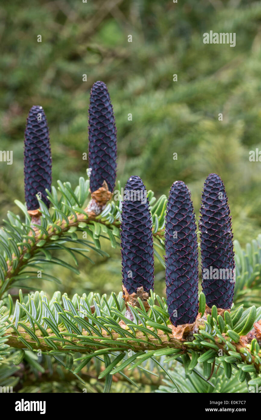 Seed cones Forrest fir (Abies forrestii var. georgei) native to China Yorkshire Arboretum Kew Castle Howard North - Stock Image