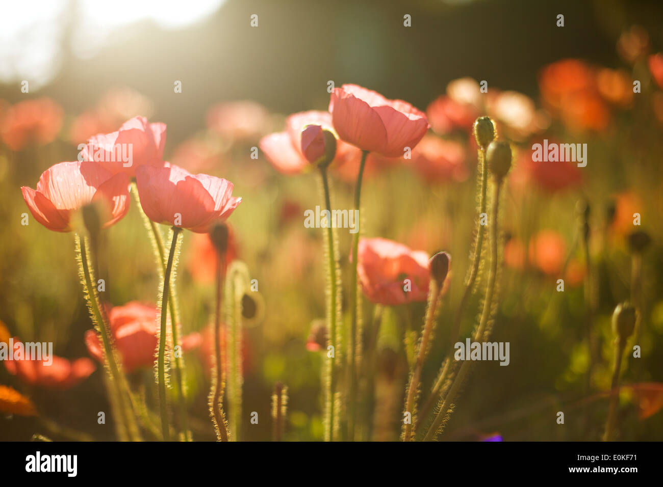 Red poppies grow in a field bathed in afternoon light. - Stock Image