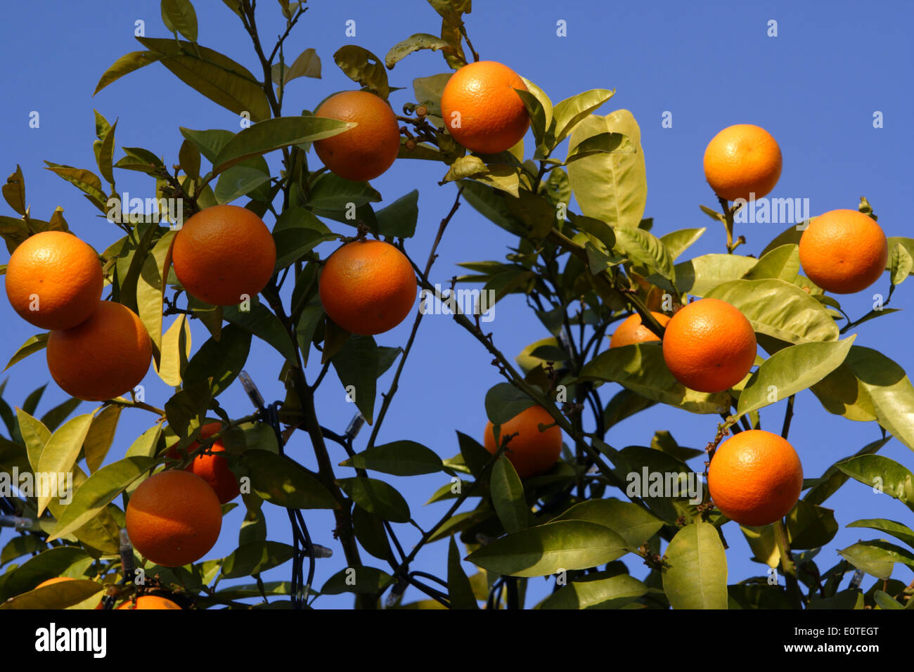 orange-tree-in-athens-greece-E0TEGT.jpg