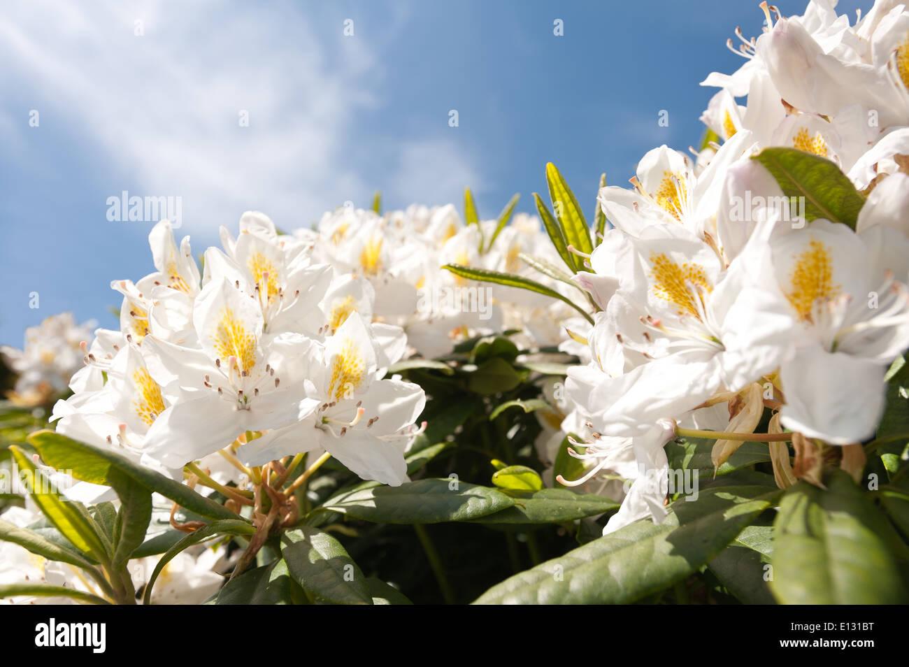 Abundant Masses Of Delicate Large Blossom Pale Cream White And