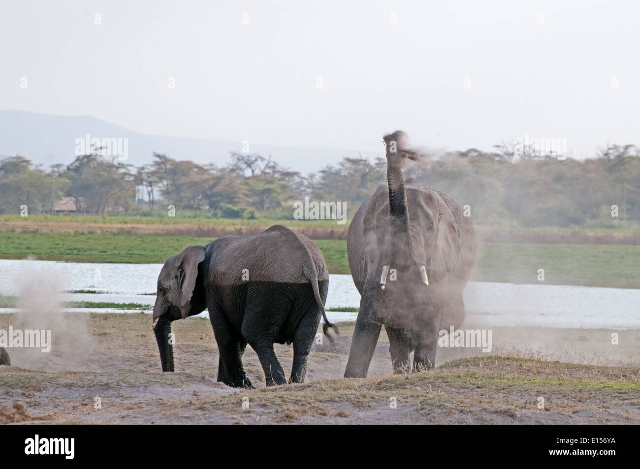 Elephants blowing dust over themselves in Amboseli National Park Kenya - Stock Image