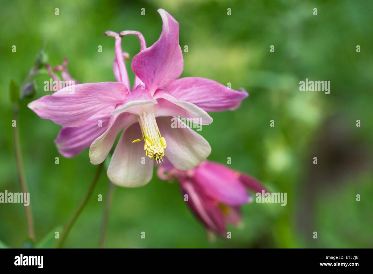 Aquilegia Flowering In An English Cottage Garden Columbine Flower