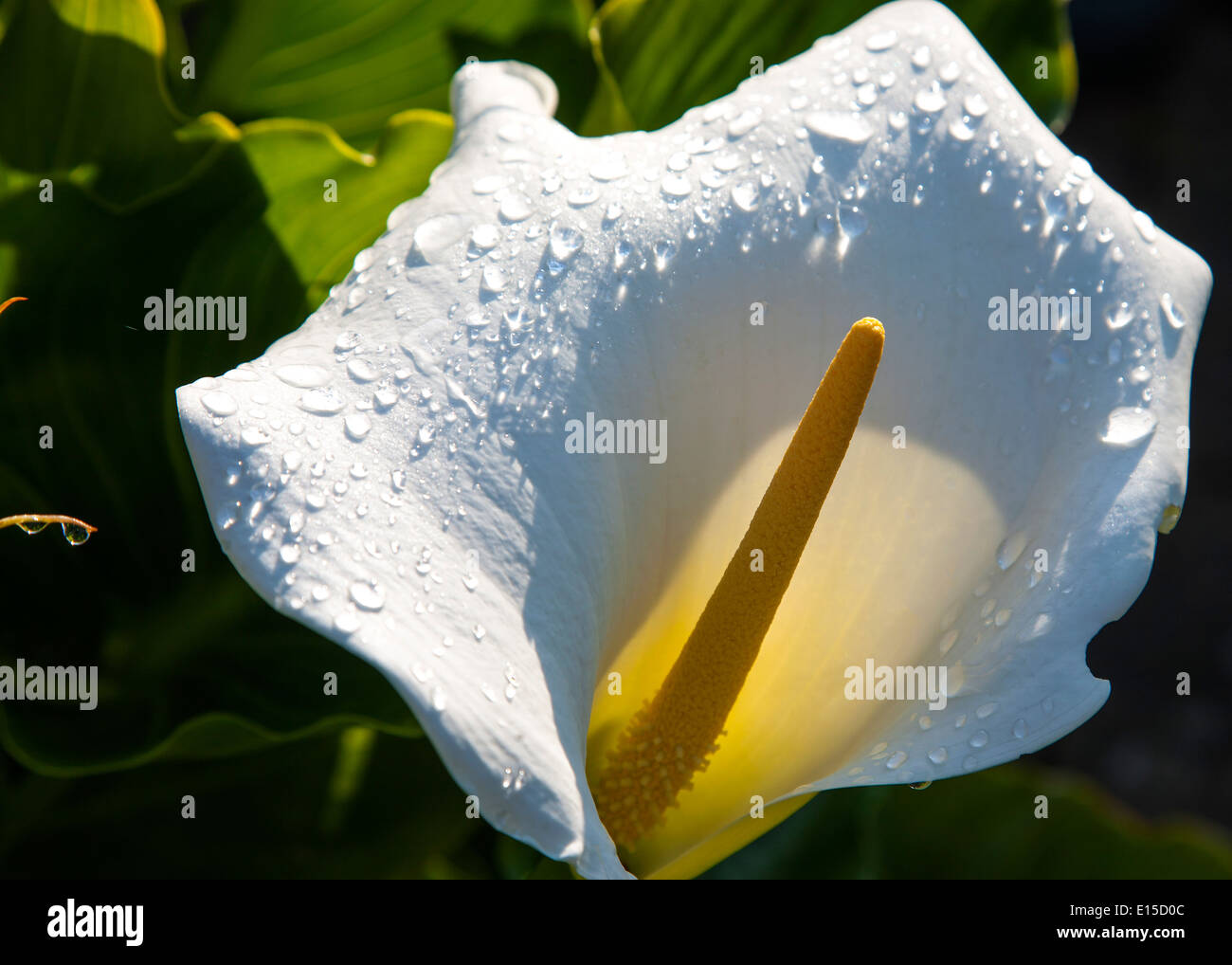 Flower shower stock photos flower shower stock images alamy a lily flower after a shower of rain stock image izmirmasajfo Choice Image