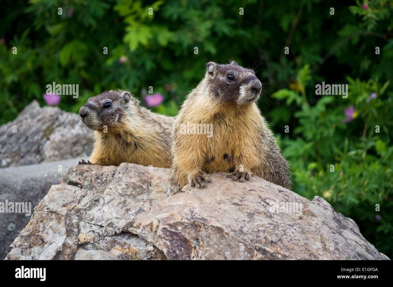 Two yellow-bellied marmots on a rock in the Okanagan area of British Columbia Canada. Marmota flaviventris Stock Photo