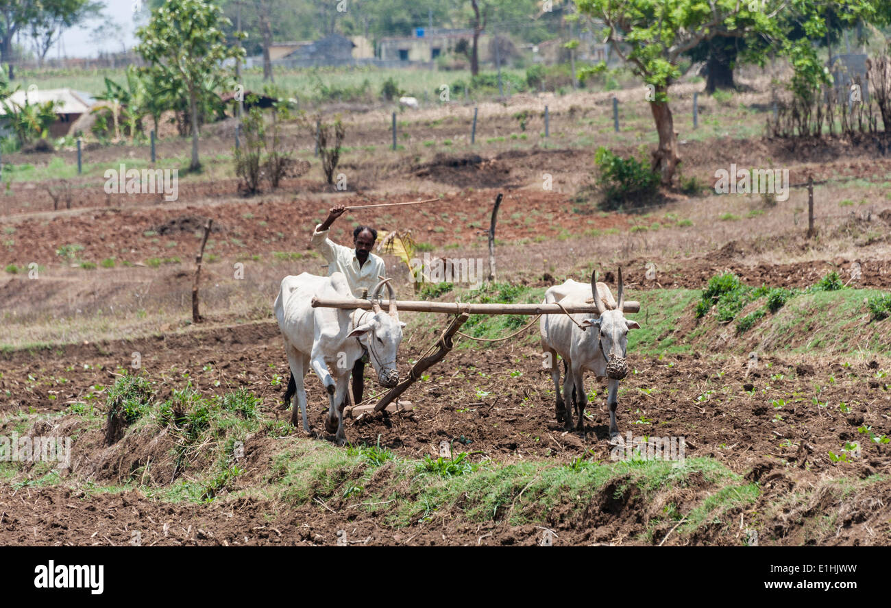 Indian farmer plowing field with yoke of oxen, Nagarhole National Park, Karnataka, India - Stock Image
