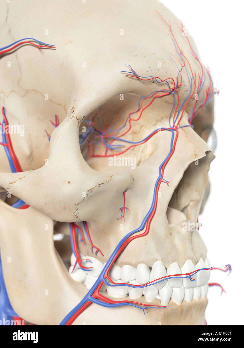 Human Blood Vessels In The Face Computer Artwork Stock Photo