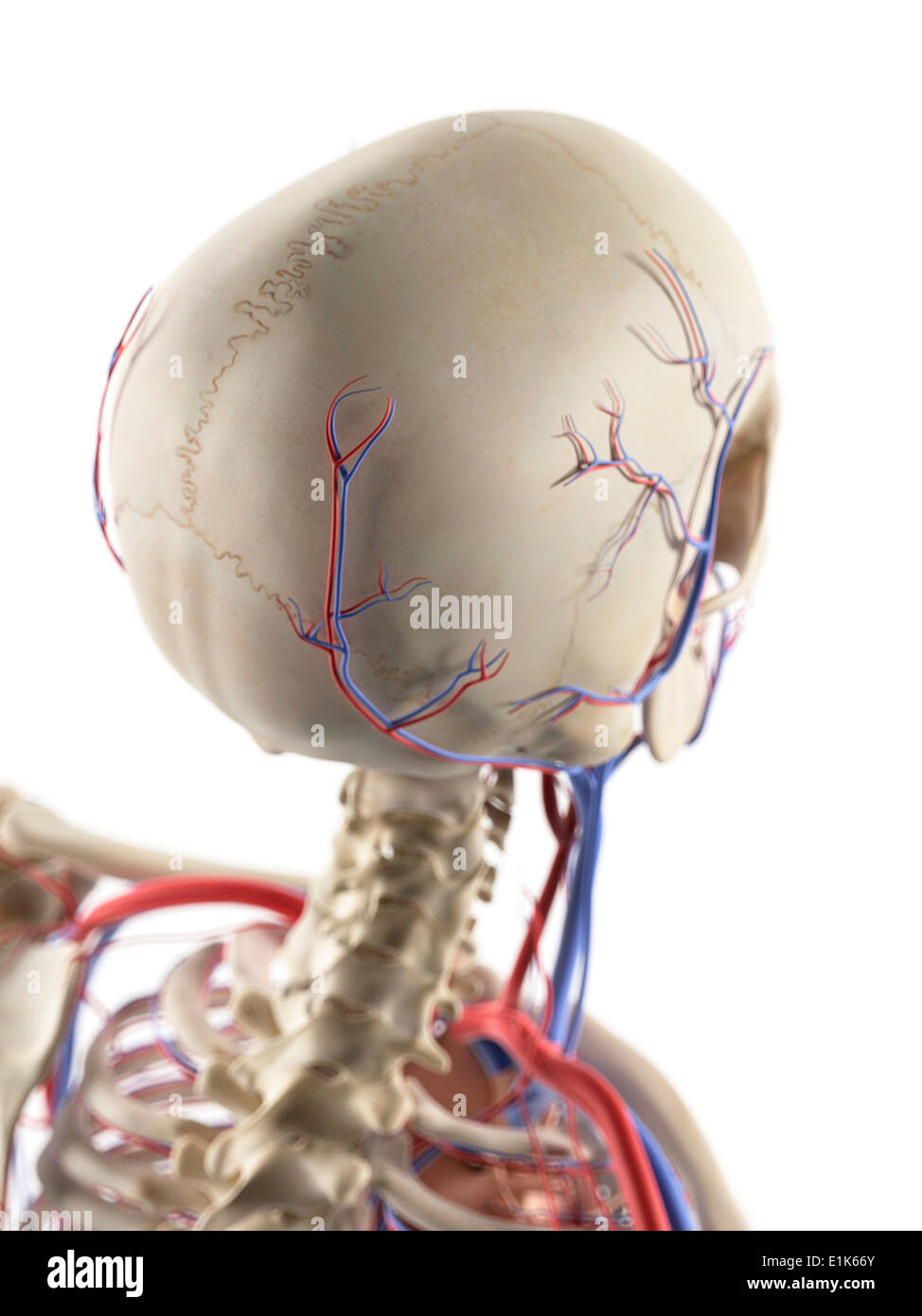 Human Blood Vessels In The Head And Neck Computer Artwork Stock