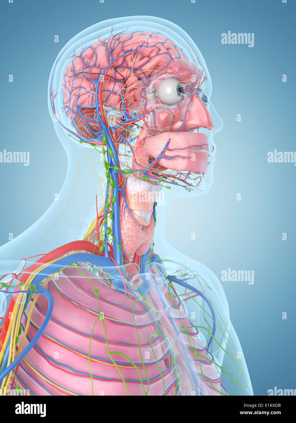 Human Head And Blood Vessels Computer Artwork Stock Photo 69878295