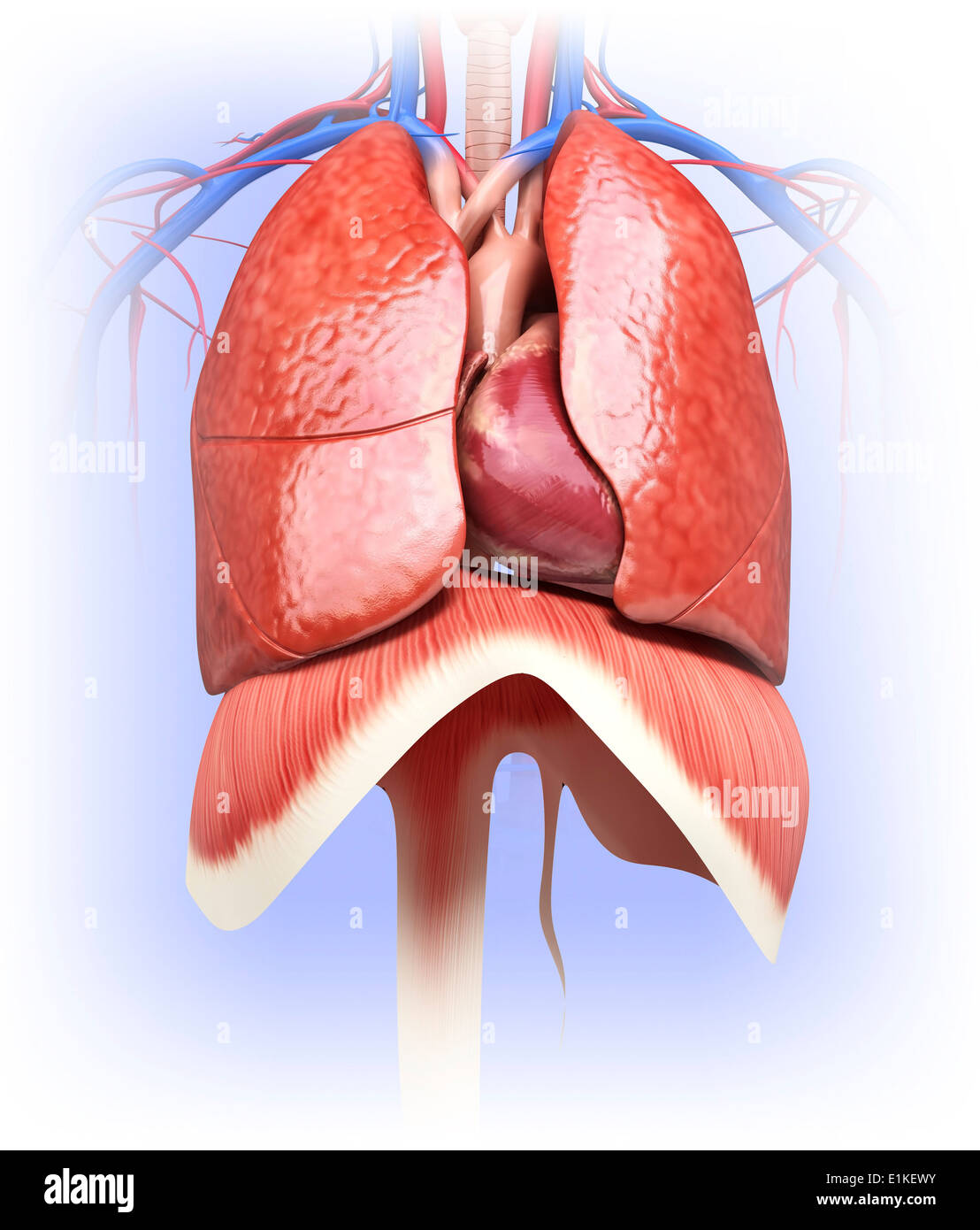 Human Heart And Lungs Computer Artwork Stock Photo 69884919 Alamy