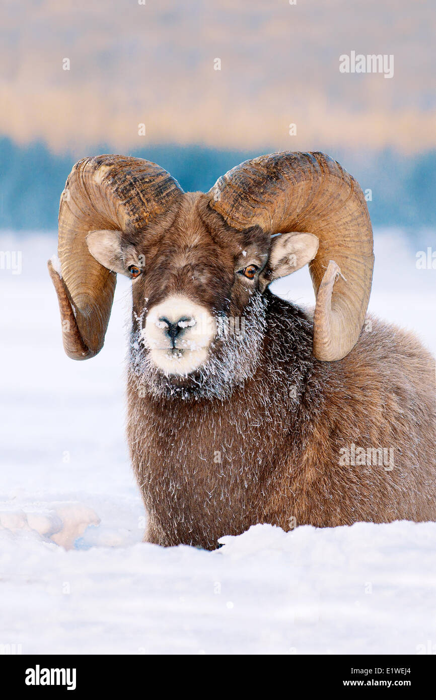 Bighorn sheep ram (Ovis canadensis), with frost-covered muzzle at -28C, Jasper National Park, Alberta, Canada - Stock Image