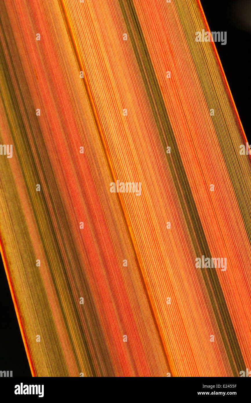 foliage-of-phormium-evening-glow-shot-against-the-setting-sun-to-show-E2455F.jpg