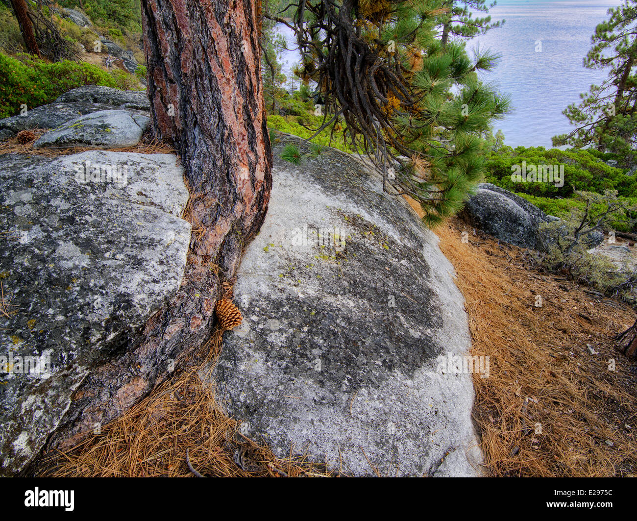 Ponderosa Pine tree struggling to grow in granite rock crack and Lake Tahoe. Lake Tahoe, California/Nevada - Stock Image