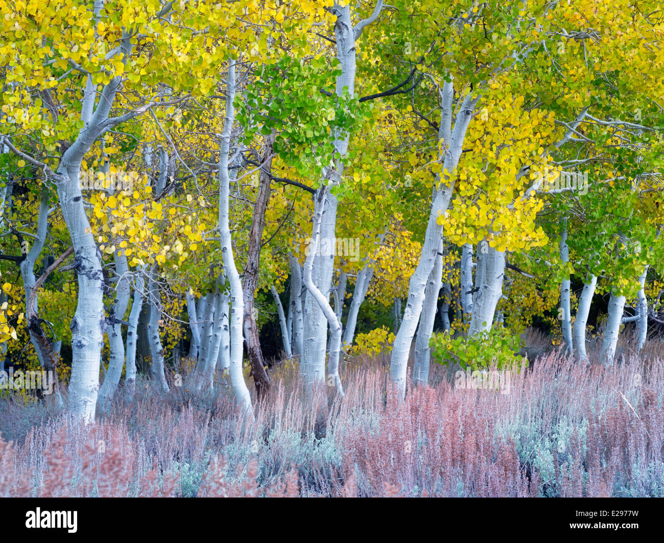Fall colored aspens and sagebrush. Eastern Sierra Nevada mountains, California - Stock Image