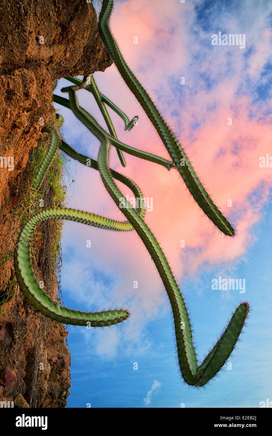 Cactus growing on hillside. Punta Mita, Mexico - Stock Image