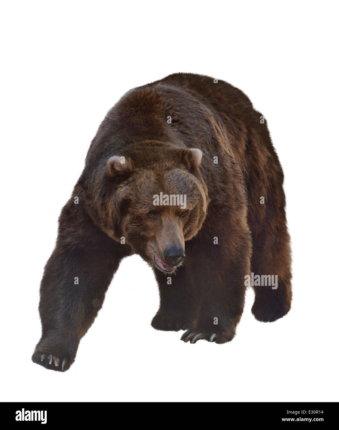 Watercolor Digital Painting Of Grizzly Bear Isolated On White Background - Stock Image