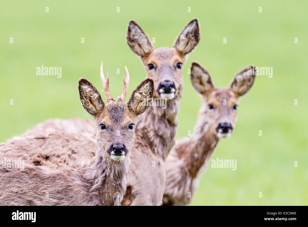 A family group of moulting Roe deer together during the spring, Norfolk, England - Stock Image