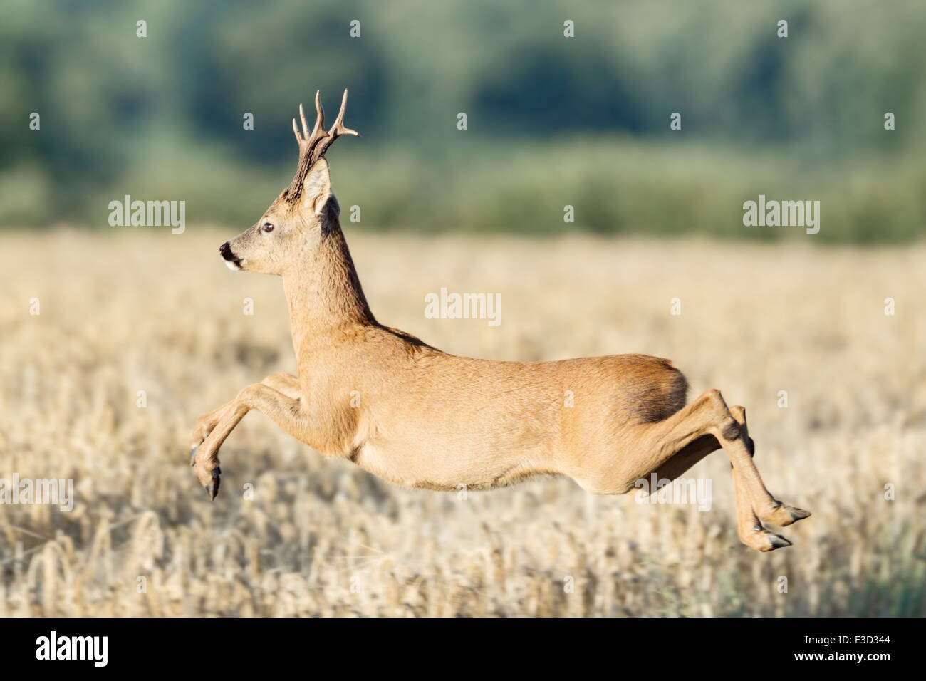 A Roe buck shows a clean pair of heals as he leaps through the air high above the arable field, Norfolk, England - Stock Image