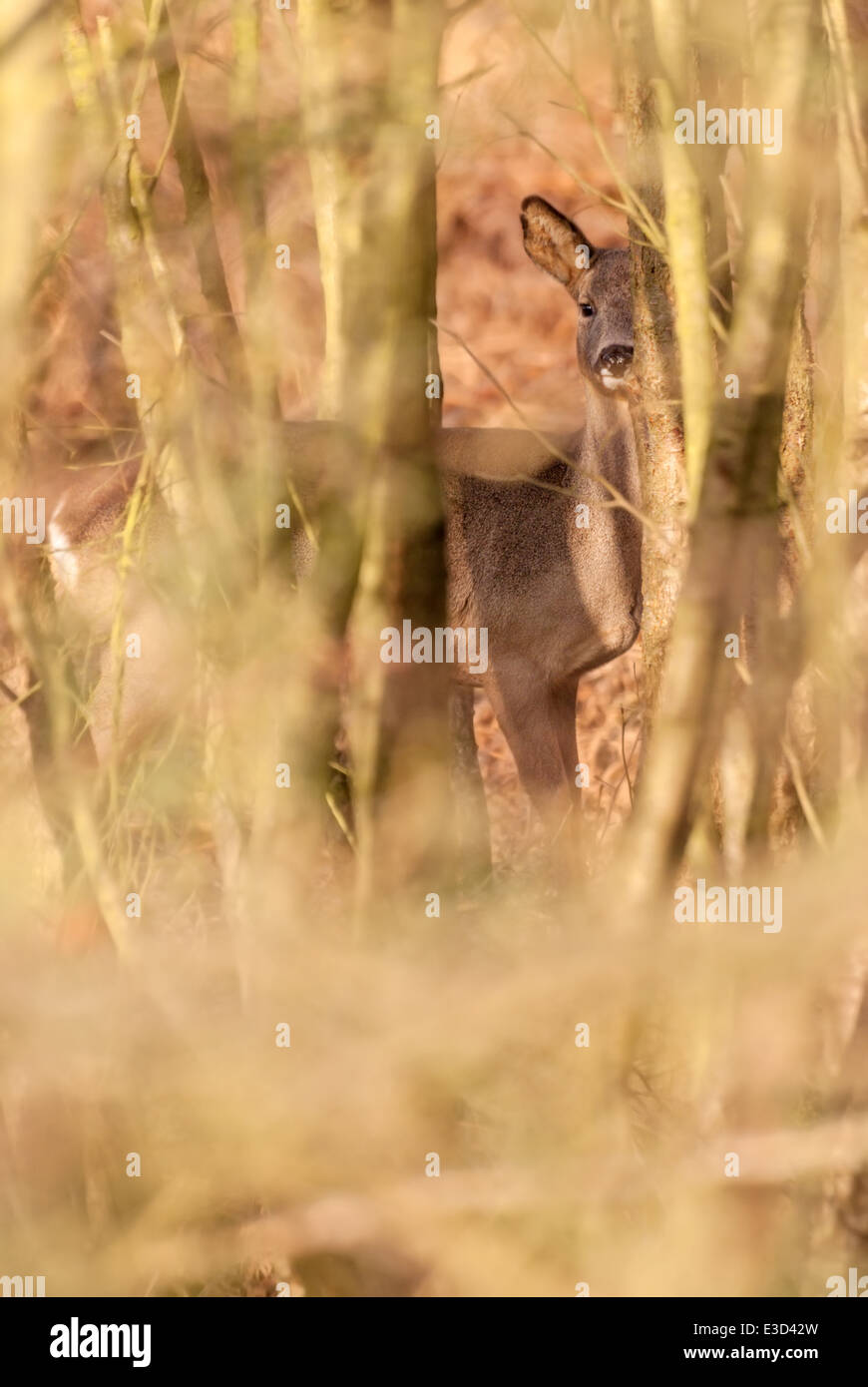 Adult female Roe deer feeding in a heathland spinney during the winter, Norfolk, England - Stock Image