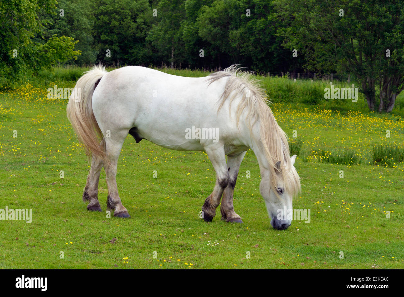 highland-pony-gelding-grazing-falls-of-clyde-nature-reserve-bonnington-E3KEAC.jpg