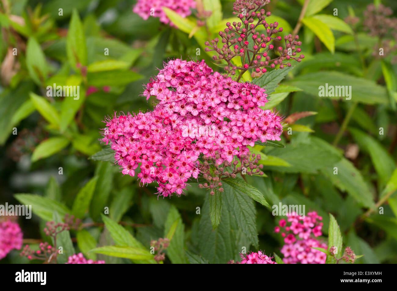Pink spirea flowers stock photo 71277937 alamy pink spirea flowers mightylinksfo