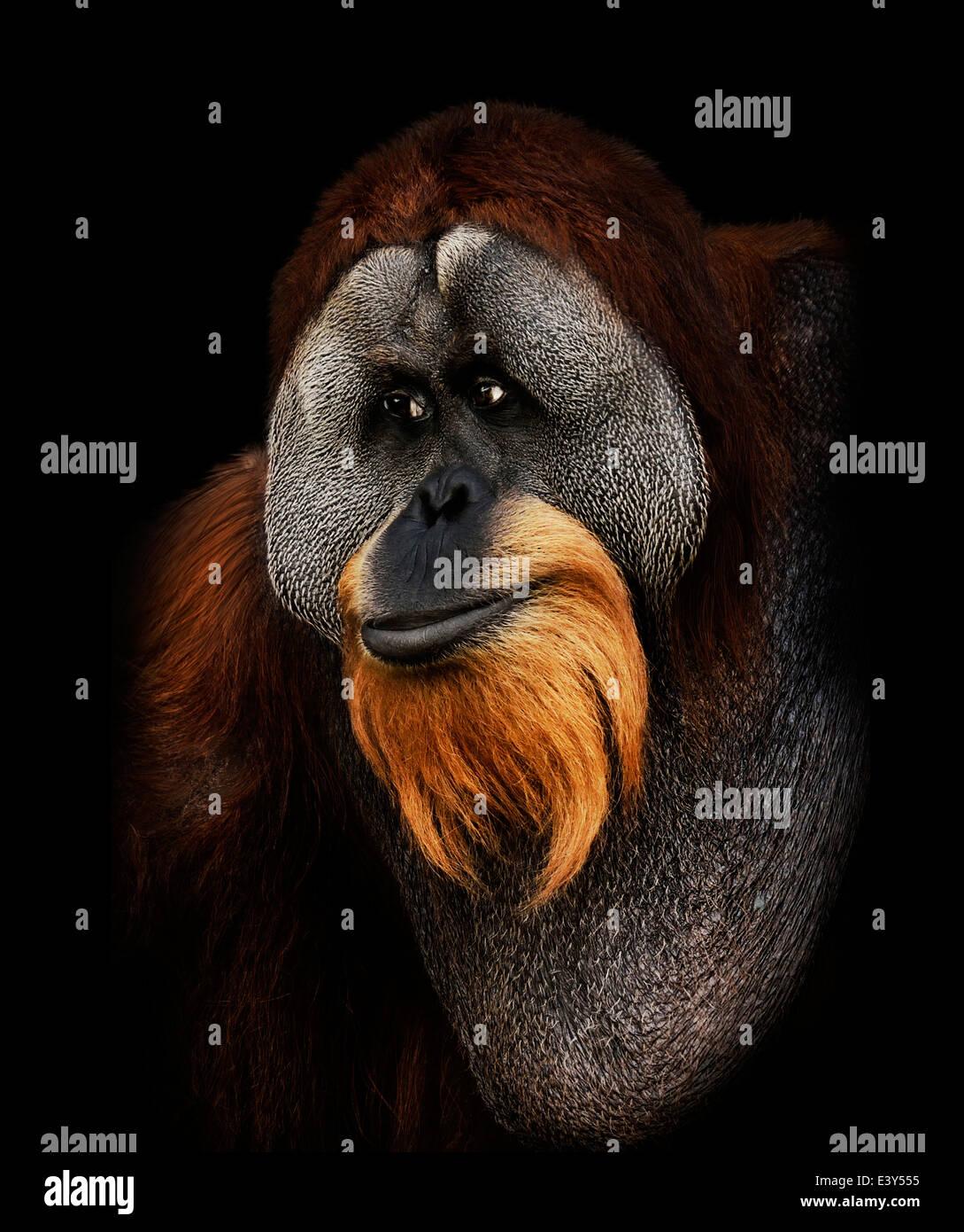 Orangutan Portrait On Black Background - Stock Image