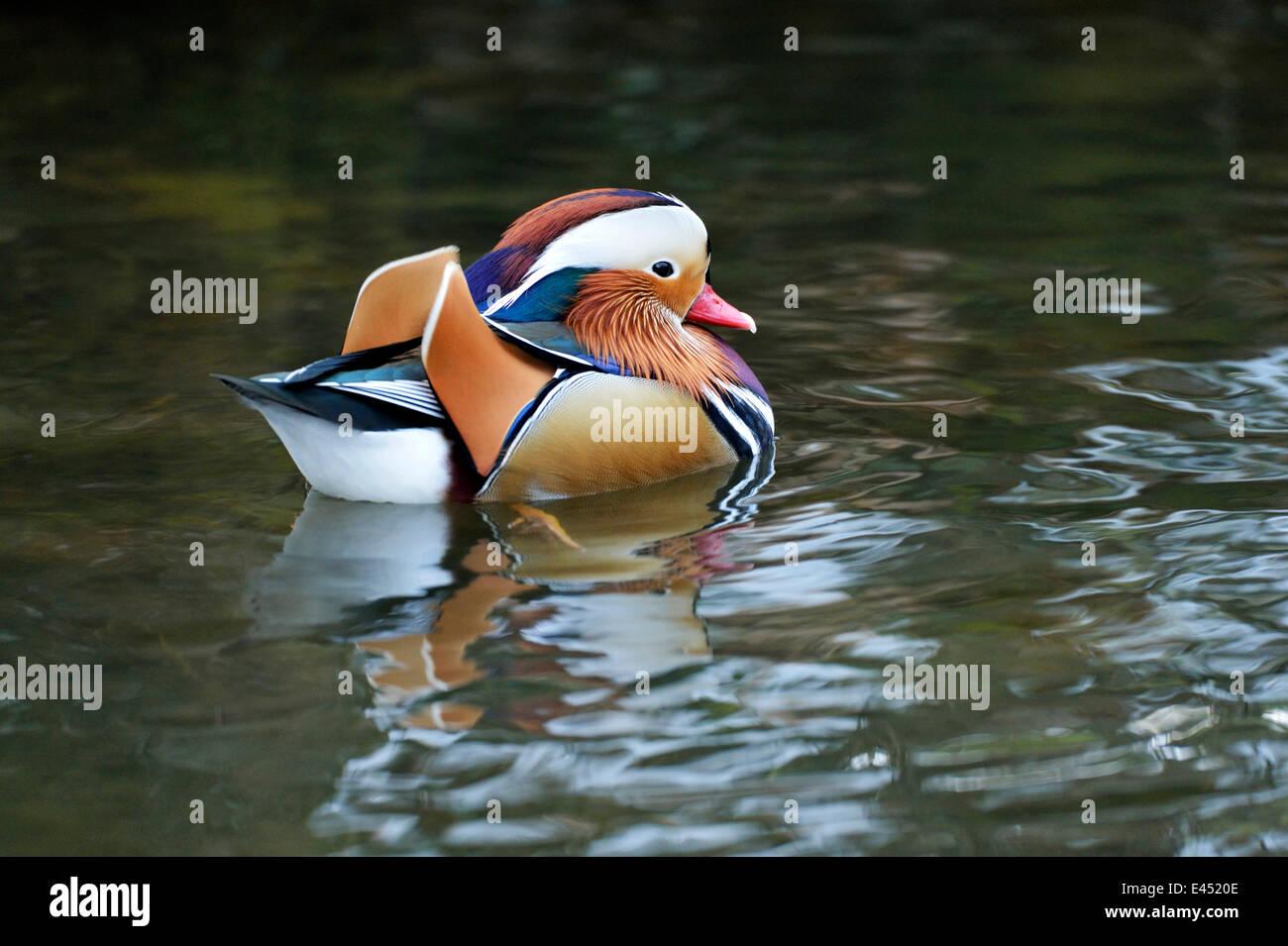 Mandarin Duck (Aix galericulata), Lake Zug, Canton of Zug, Switzerland - Stock Image