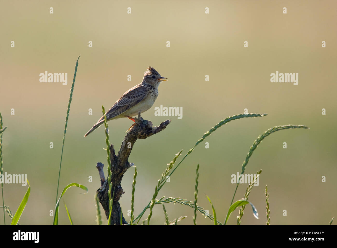 Skylark (Alauda arvensis) singing on branch stump, East Slovakia, Europe, June 2008 - Stock Image