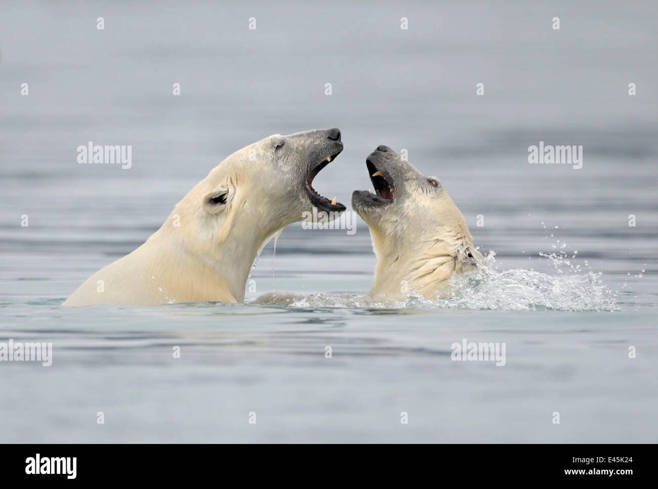Polar Bear (Ursus maritimus) mother and cub playing in water, Svalbard, Norway, September 2009 - Stock Image