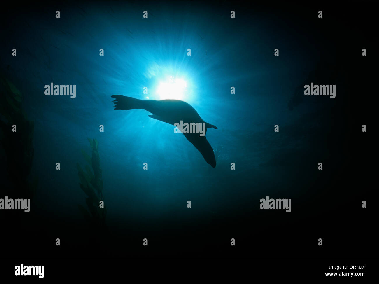 Silhouette of Californian sealion (Zalophus californianus) swimming underwater, Anacapa Island, California, Pacific - Stock Image
