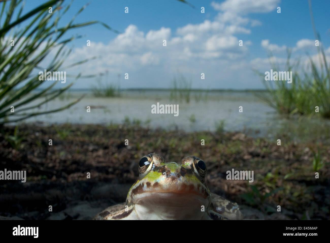 European edible frog (Rana esculenta) by Lake Belau, June 2009 - Stock Image