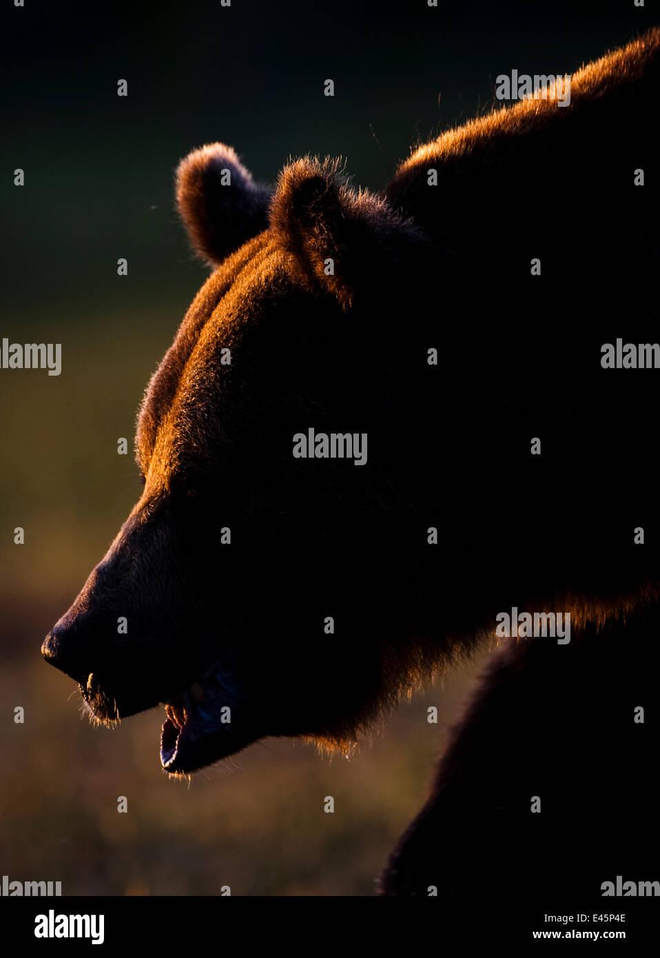 European brown bear (Ursos arctos) backlit by sun, Kuhmo, Finland, July 2009 WWE BOOK - Stock Image
