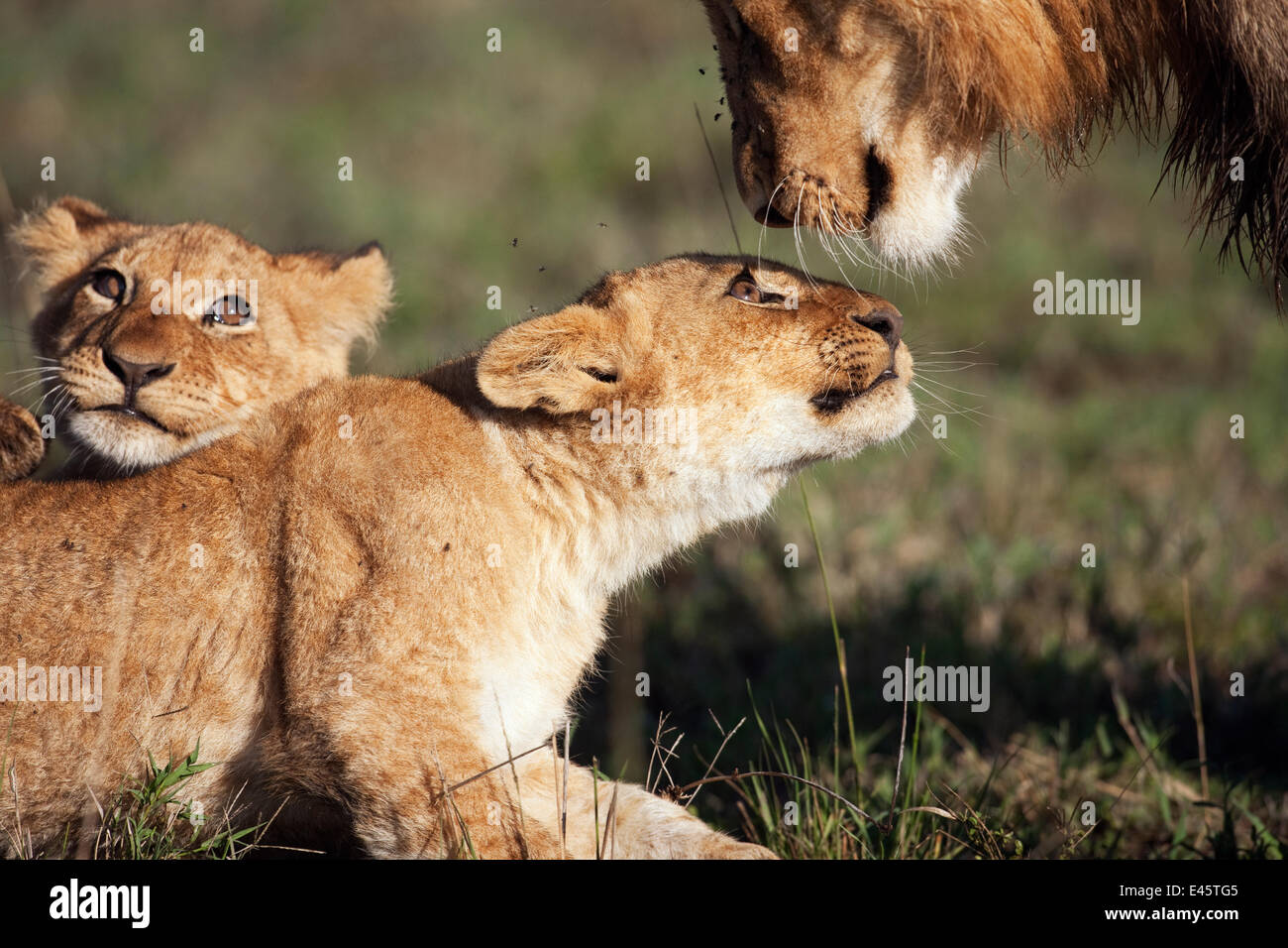 African lion cubs (Panthera leo) aged 9-12 months playing with an adolescent male, Masai Mara National Reserve, - Stock Image